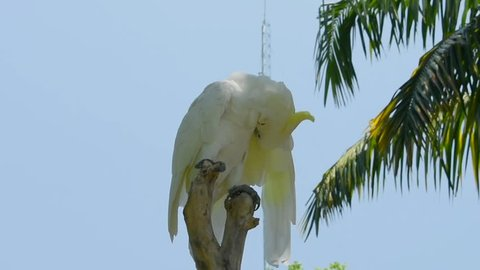 The Eleonora cockatoo, Cacatua galerita eleonora, also known as medium sulphur-crested cockatoo