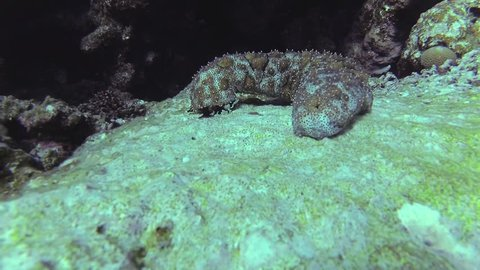 Holothuroidea moves on a coral reef in the sea.