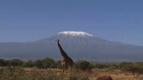 A giraffe walks away from the camera with kilimanjaro in the background.