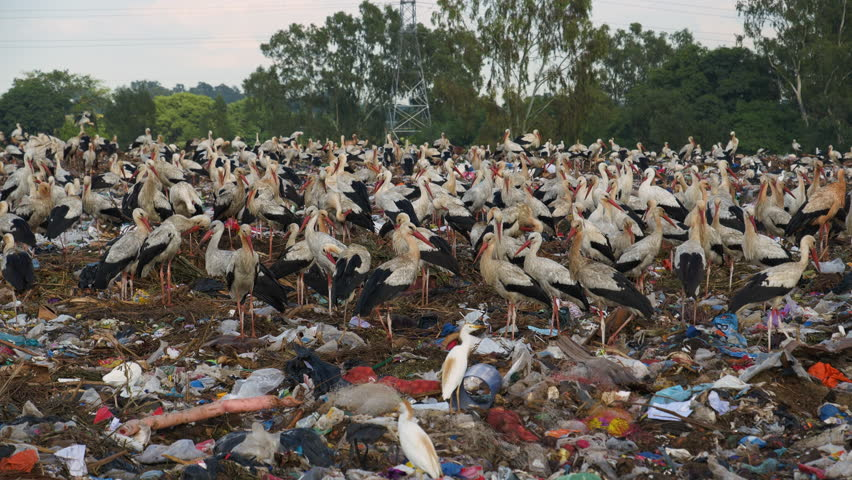 4K close-up view of throusands of European Storks and cattle egrets standing on a landfill dump site where they scavenge for food | Shutterstock HD Video #1025459234
