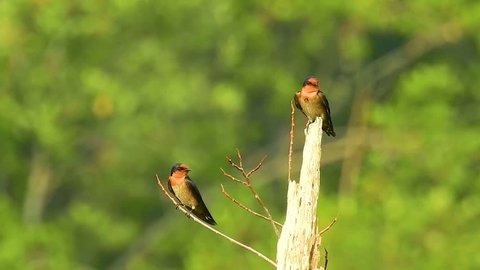 Footage of The birds (Barn Swallow) - Couple on same dead branch