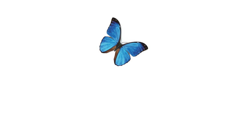 Beautiful Blue Colored Butterfly Morpho Menelaus Flying and Sitting on White and Green Backgrounds Close-up. Loop-able 3d Animation with Green Screen Alpha Channel. 4k Ultra HD 3840x2160. | Shutterstock HD Video #1025636594