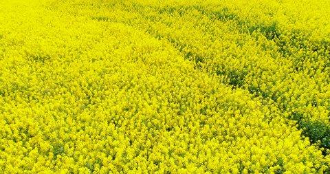 Aerial above view of spring rapeseed flower field blooming beautiful yellow rapeseed flowers field at spring day, beautiful spring landscape 4k drone footage