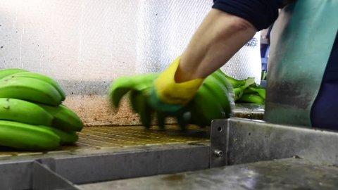 Operator cutting the green banana branches at banana packaging industry .