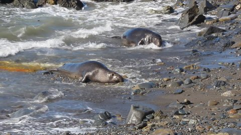 Adolescent elephant seals on Morro Beach, CA.  One seal  urinating bright orange urine