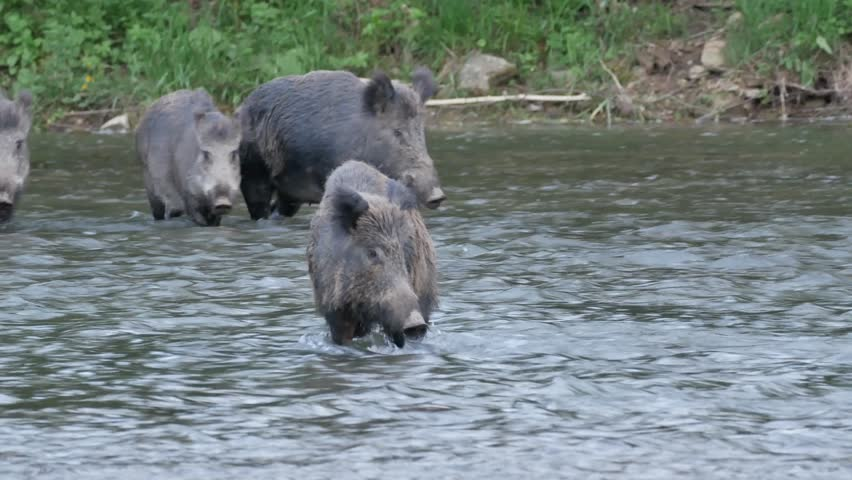 Group of feral pigs is coming into river of the wild nature of the Eastern Carpathians | Shutterstock HD Video #1025764214