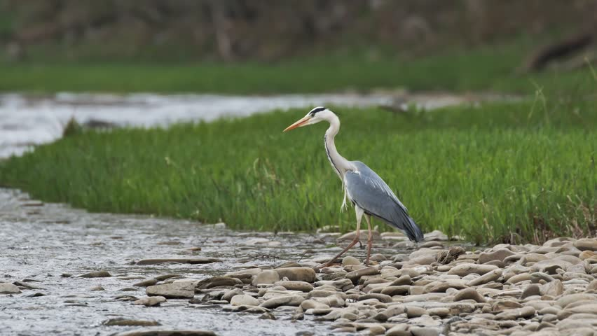 A river heron is waiting for its prey. He leaves without success. | Shutterstock HD Video #1025765894