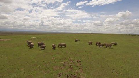 Large group of northern white rhinoceros on green plain in Kenya