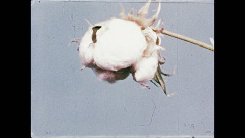 1950s: Bud on plant blossoms into cotton. Another bud blossoms into cotton.