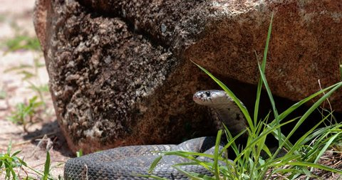 cobra snake in liberty, South Africa