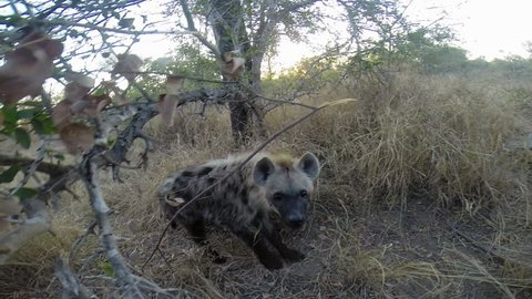 Curious Young Spotted Hyena Smells And Tries To Bite Camera.