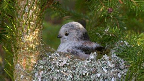Long-tailed tit (Aegithalos caudatus) building nest