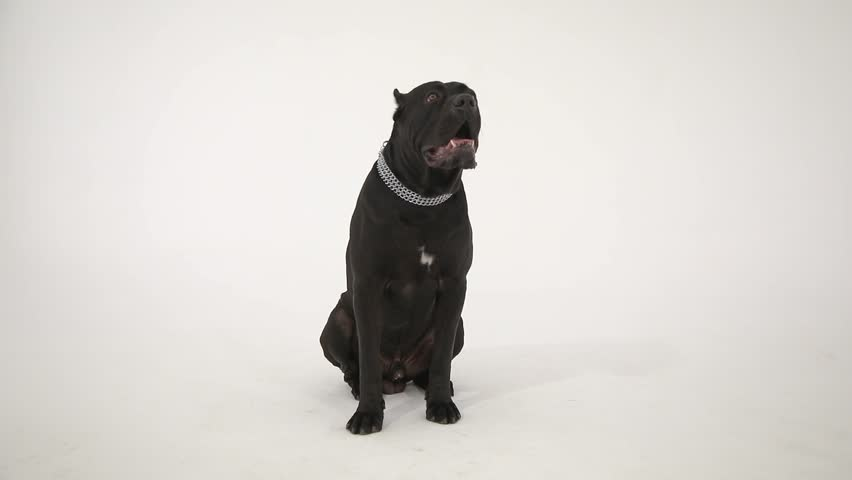 Black Cane corso sitting on white background | Shutterstock HD Video #1025941904