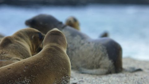 Sea lions laying on Galapagos beach