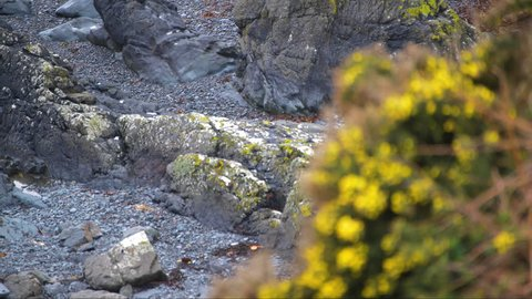 Beautiful focus pull from rocky coast and stony land to yellow gorse bush growth on the side of a cliff.