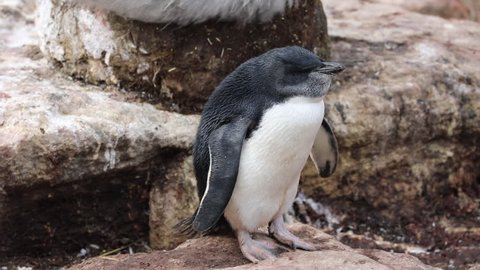 A rockhopper penguin chick at West Point Island, Falkland Islands.