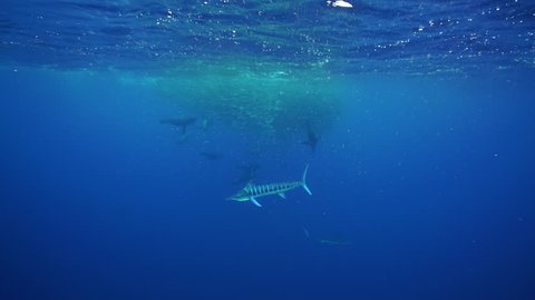 Striped marlin, sailfish and California sea lions attack a large mackerel bait ball off the Pacific coast of Baja California Sur, near Magdalena Bay, Mexico.