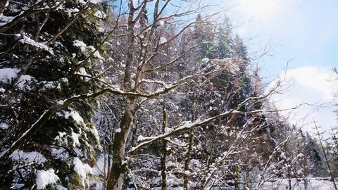 Snow on the branches of trees. Sunny day. Beautiful winter landscape of snow-covered trees. The sun breaks through the frozen branches of trees. Tree in the snow.