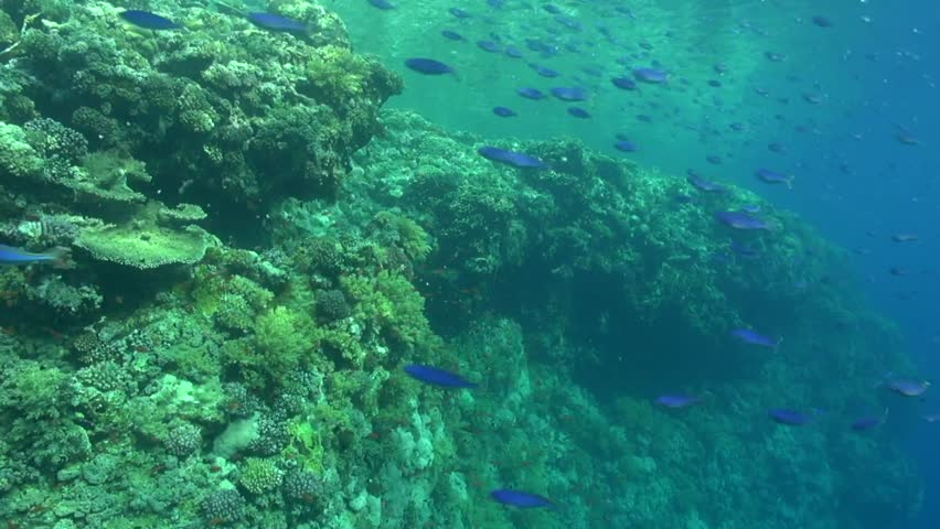 Large school of Blue Fusilier pass by on the reef #1026305144