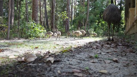 Emu with chicks foraging next to country house in dense forest. Exit frame right. Low point of view
