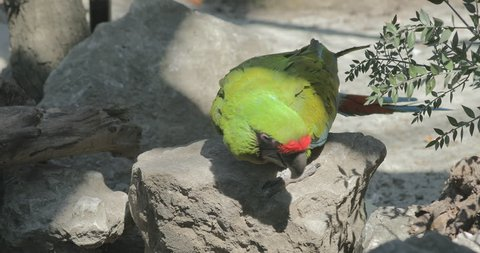 The great green macaw limping, Ara ambiguus, concept to treat animals badly