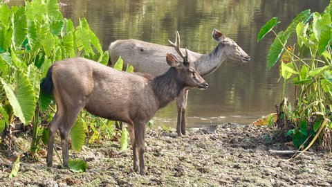 Pair of sambar deers rest at the river in Khao Yai national park, Thailand. Sambar is a large deer living in the Indian Subcontinent, southern China and Southern Asia.