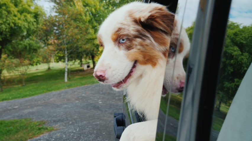 The dog jumps out of the car window. It came from a trip | Shutterstock HD Video #1026905864