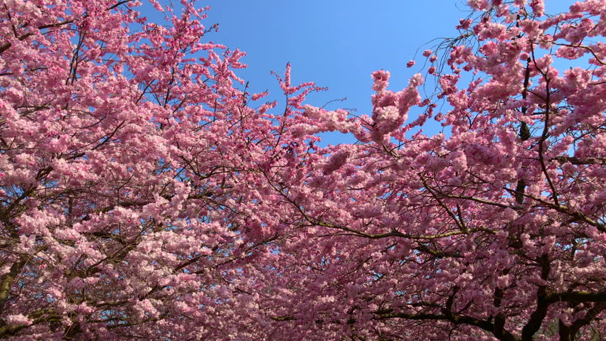 4k00 15beautiful Pink Japanese Cherry Blossom Trees Gently Waving