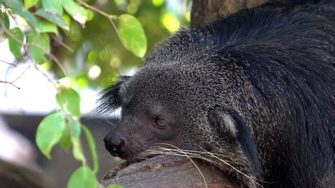 Selective focus close up shot of sleepy binturong laying on the tree branch in forest with soft wind blowing in hot summer sunny day and blurred bokeh backgrounds.