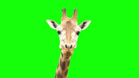 4K Giraffe Green Screen Looking at Camera Close Up Chroma Key Ultra High Defintion HD African Giraffe Animal Eating and Mouth Moving Cute