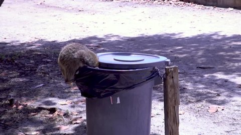 Raccoon stealing food from a garbage can and running away