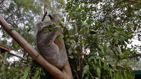 A shot of a koala chewing gum tree