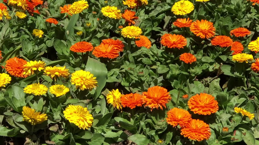 4K HD video marigold flowers on windy day, zooming out from few flowers to entire flower bed. Spring. Tagetes is a genus of annual or perennial, mostly herbaceous plants in the sunflower family.