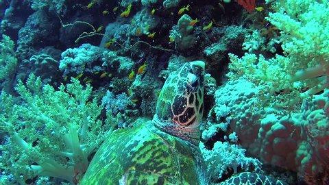 Hawksbill sea turtle (Eretmochelys imbricata) Eats Soft Corals on the Reef Elphinstone, Red Sea, Egypt