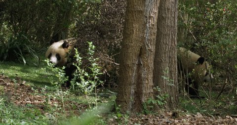Lovely Giant panda bear couple dating in the woods Two adult Panda bear playing together in the wild bush. panda bear meeting mate at spring day time in Chengdu China