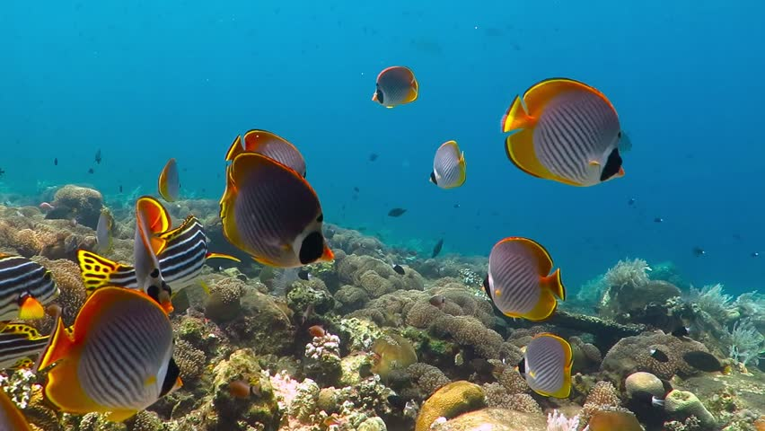 School of tropical fish (butterflyfish) on the coral reef. Colorful seascape with marine wildlife. Underwater photography from snorkeling with corals and fish. Aquatic tropical life. | Shutterstock HD Video #1027594574