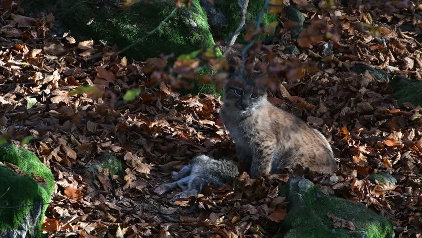 Eurasian lynx (Lynx lynx) kitten feeding on dead rabbit prey in autumn forest