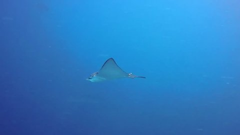 Eagle Ray swimming in blue water
