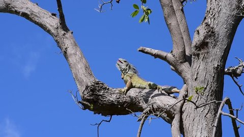 A Green Iguana (Iguana iguana) looks around and opens mouth, while perched on a tree branch.