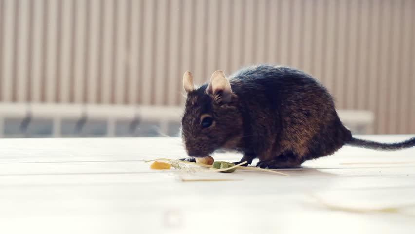 Fluffy degu, chilean squirrel, eating dry food