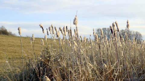 Tilting down shot of some cattails swaying in the wind.