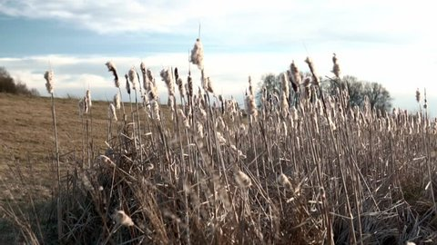 Static shot of some cattails swaying in the wind in slow motion.