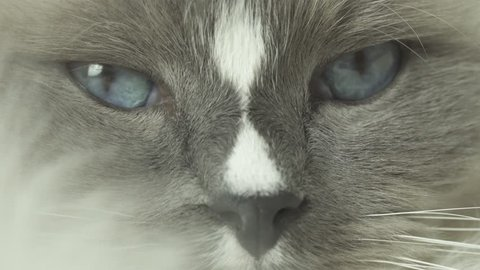Extreme close up and soft focus of cute white furry ragdoll cat lying in bed on the blanket with sleepy face. Home pet settled calmly to sleep. Cozy fluffy bedroom home background. Macro 4k.