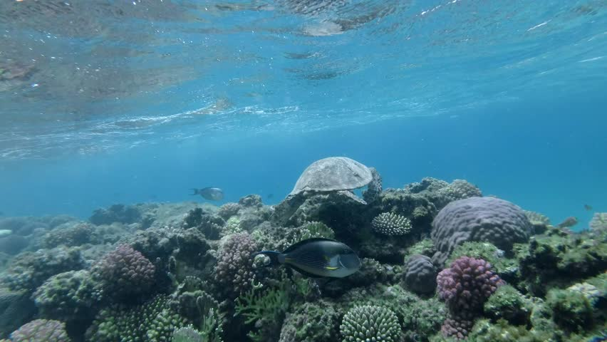 Sea Turtle swim over top coral reef under surface of water. Hawksbill Sea Turtle or Bissa (Eretmochelys imbricata) Underwater shot. Red Sea, Abu Dabab, Marsa Alam, Egypt, Africa