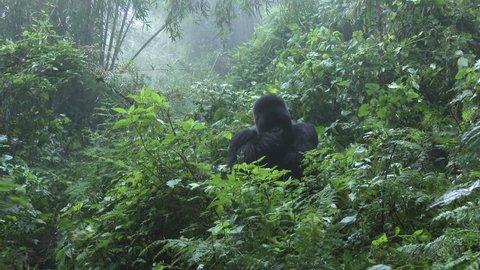 Mountain gorilla, ( Gorilla beringei beringei ) Silverback Munyinya, from Hirwa group licking injured hand