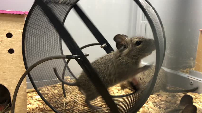 Squirrel in a wheel. Gray squirrel runs in the wheel. Pet shop, proteins in the cell.