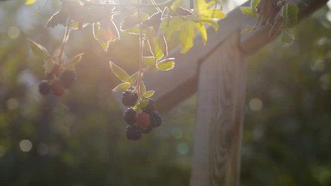 Blackberries on a garden. Sunrise backlight shot.