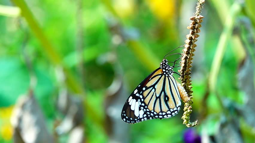 Super slow Thai butterfly in pasture flowers Insect outdoor nature | Shutterstock HD Video #1028208524