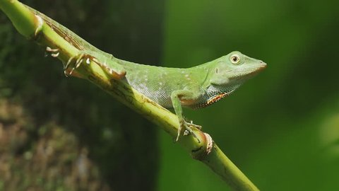 The green Anole lizard (Anolis carolinensis)