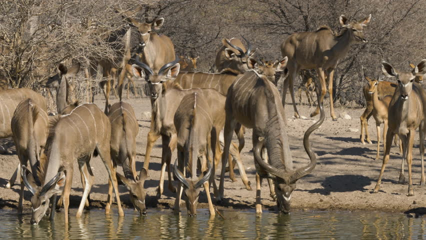 A breeding herd of kudu in Botswana are drinking from a waterhole when they are frightened and start to run away.